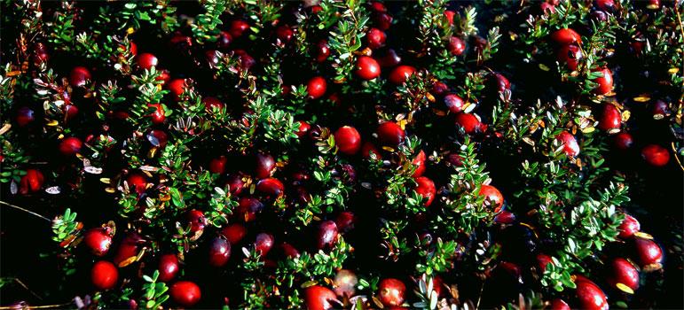 cranberry-infos