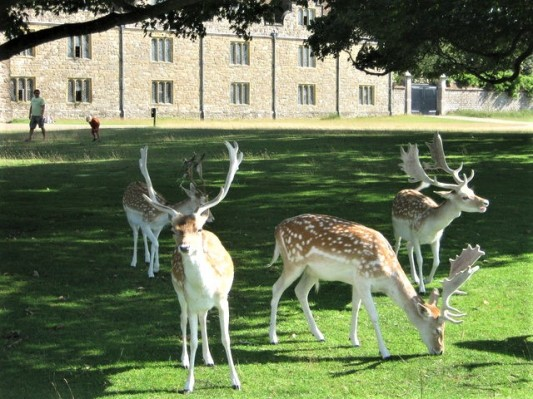 Deer_in_front_of_Knole_Park_-_geograph.org.uk_-_1451418